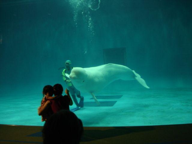 島根県の水族館アクアス「シロイルカ」