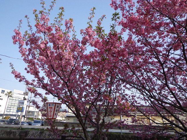 周南市の桜スポット・お花見スポット~東川緑地公園・花畠町桜のトンネル