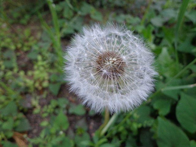 庭でみつけた「タンポポの綿毛」