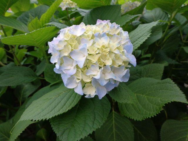 山口県は梅雨入り~紫陽花が咲きはじめました