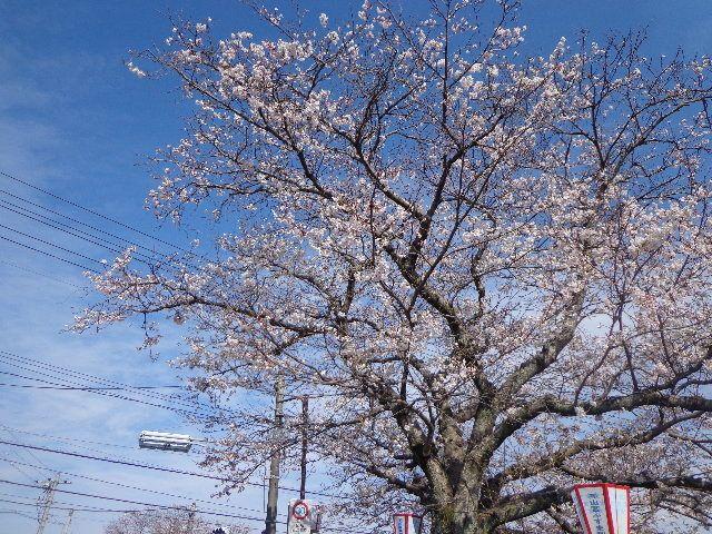 4月7日は下松市の切戸川桜!桜!フェスタへ