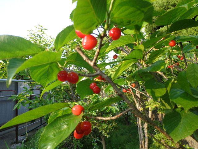 甘くて美味しい「ユスラウメ」山桜桃(さんおうとう)