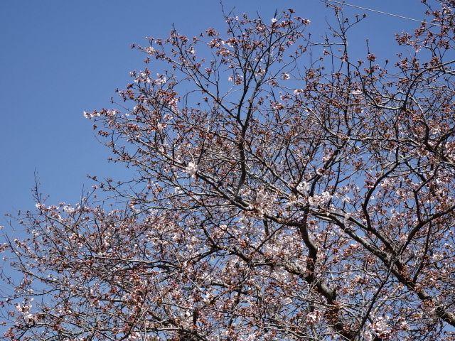 もうすぐ見頃「下松市切戸川の桜」